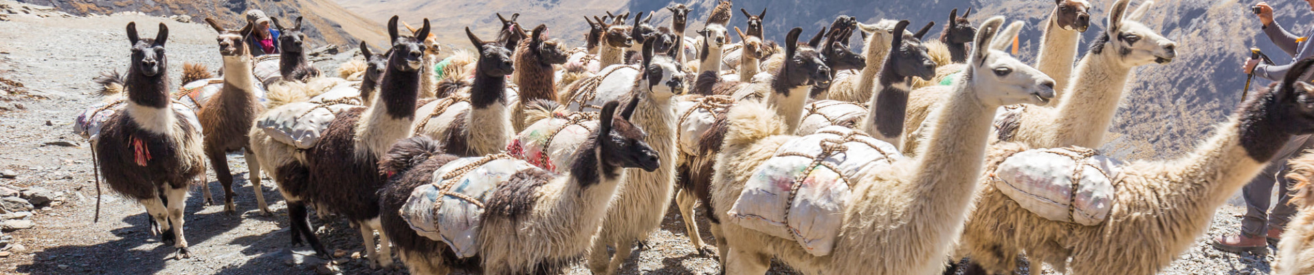 Lamas montagne
