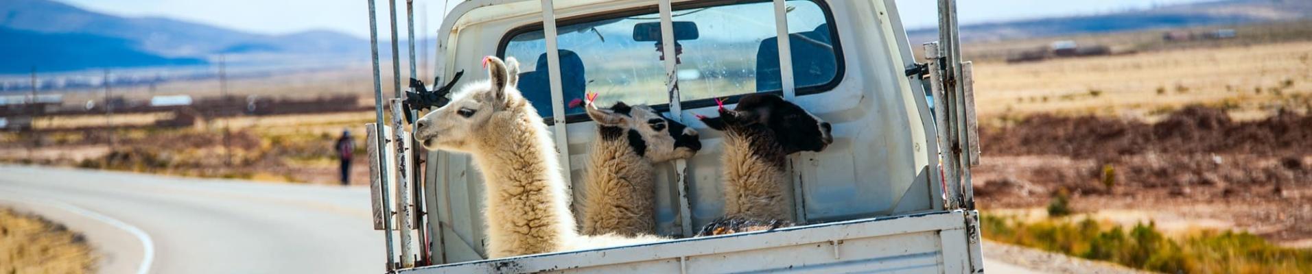 Lamas en voiture
