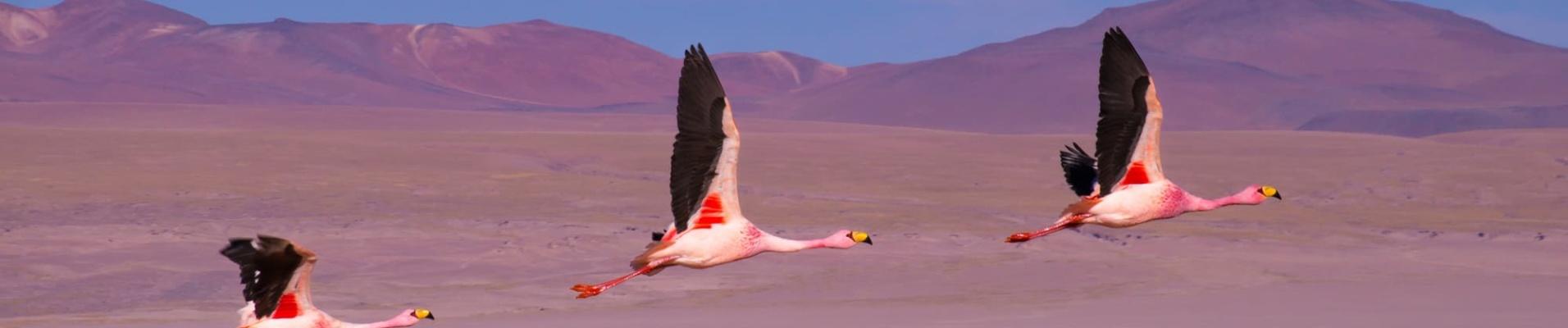 Trois flamants roses qui volent au dessus de la laguna Colorada - Bolivie